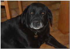 Tomy (gillyan9) Tags: dog black friend labrador noir regard compagnon gentillesse