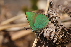 Green Hairstreak (Chris B@rlow) Tags: macro nature animal canon butterfly outdoors wildlife butterflies northumberland hairstreak greenhairstreak ukbutterflies callophrysrubi ridingmill hairstreakbutterflies canon7d