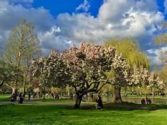 Boston Public Garden in Bloom ((Jessica)) Tags: flowers tree boston downtown massachusetts newengland publicgarden pw