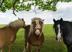 LOL (neerod81) Tags: friends horses tree smile grass fun funny eyecontact outdoor lustig pferde freunde grimasse fellpflege