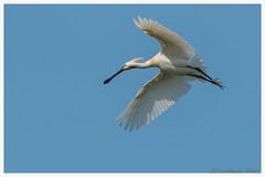 the spoonbill (fire111) Tags: spoonbill lepelaar spatuleblanche bird flight nature bif white