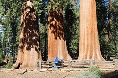 A Graceful Grouping (daveynin) Tags: forest nps bark sequoia