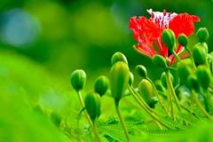 First of the Flamboyan Bloom (bmasdeu) Tags: flamboyan royal poinciana tree blossom bloom spring red flower tropical