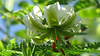 Lilium ledebourii (Flowers Excitement) Tags: red white flower green canon lily susan ngc lilium chelcheragh ledebourii languageofflowers liliumledebourii