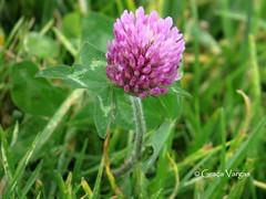 ( Graa Vargas ) Tags: pink flower wildflower graavargas wilsflower 2016graavargasallrightsreserved 15208180716