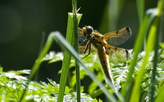 Four-spot Chaser (Nige's Place) Tags: somerset fourspotchaser