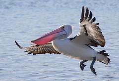 Australian Pelican (christinaportphotography) Tags: pink wild bird birds flying free australia pelican breeding nsw centralcoast courting australianpelican pelicansconspicillatus