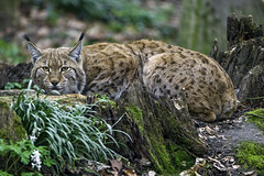 Very attentive lynx (Tambako the Jaguar) Tags: crouching lying attentive concentrated portrait forest tree grass leaves european lynx wild cat mulhouse zoo france alsace nikon d4