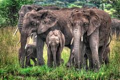 The Family (d.portnoy) Tags: animals tanzania safari elephants serengeti tembo tza