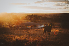 bright and bold (Lena Lopes) Tags: sunset golden countryside cow farm hour fields goldenhour bucolic