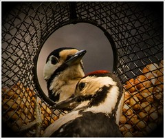 Two's company! (peterdouglas1) Tags: gardens woodpecker peanuts gardenbirds greaterspottedwoodpecker