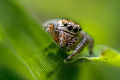 Shot with: Nikon 1 V1, 1 Nikkor 30-110mm f/3.8-5.6, Marumi DHG200 +5, Raynox DCR-250 (Ivan Radic) Tags: nikon1v1 nikon1nikkor30110mmf3856 marumidhg2005 raynoxdcr250 raynox dcr250 marumi dhg200 5 1 nikkor 30110mm f3856 nikon v1 macro jumping spider