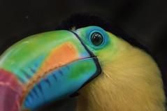 Rainbow in the jungle (kevinschr) Tags: portrait colour bird nature animal toucan rainbow