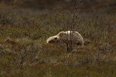 IMG_2902 (bob.frase) Tags: alaska denalinationalpark grizzlybear