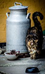 POTD: I'll take care of my own food today. (janmennens) Tags: food cute bird cat milk kat chat can potd dk lait prey ph danmark vogel oiseaux denemarken photooftheday prooi seeland gedser melkkan