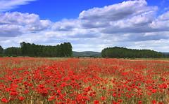 Una de amapolas.... (Garciamartn) Tags: espaa naturaleza europa paisaje nubes nino zamora amapolas valledevalverde garciamartn