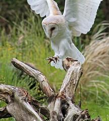Incoming... (BIKEPILOT) Tags: uk greatbritain bird nature fauna display action wildlife flight surrey landing owl barnowl birdofprey farnham birdworld silentflight