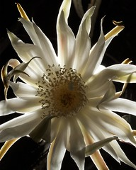 Backlit queen (Distraction Limited) Tags: flowers arizona cactus backlight tucson flipit blooms queenofthenight backlighting nightbloomingcereus reinadelanoche peniocereus peniocereusgreggii dembflipit arizonaqueenofthenight queenofthenight20160618