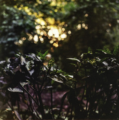 Into the wild (florianbuquet) Tags: wood sunset plants rolleiflex bokeh