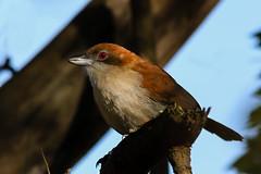 Choror - Taraba major - Great Antshrike  (Jorge Schlemmer) Tags: argentina crdoba miramar birdwatcher greatantshrike tarabamajor choror