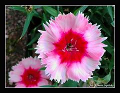 Kwiaty w ogrodzie :) (Renata_Lipiska) Tags: kwiaty kwiat flowers flower ogrd garden outdoor fleursdanslejardin jardin fleur blumenimgarten garten blumen blume
