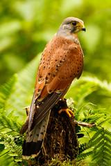 Kestrel Back (zarlock81) Tags: birds scotland wildlife falcon balloch lochlomond kestrel schottland falcotinnunculus commonkestrel turmfalke vereinigtesknigreich