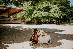 Just hangin' (DeniseLives) Tags: goats animals animallover summer miami florida sand film nikon nikond600 d600 35mm 35mm18 18 shallow shadow shadows portrait cute farm fullframe fx