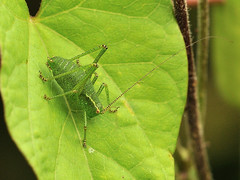 Leptophyes punctatissima (Tim Worfolk) Tags: topsham leptophyespunctatissima speckledbushcricket tettigoniidae
