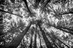 White Pines (jpr_me) Tags: whitepine tree f3hp film blackandwhite bw analog aristapremium400 xtol11 epsonv500 minefallspark nashua newhampshire 24mmf28aisnikkor y2filter july summer 2016 blindphotographer lookingup nature outdoors outdoor trees conifer sky