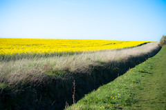(*tamara*) Tags: uk cambridge england yellow spring diagonal cambridgeshire canola rapeseed paralel combertonspringwalk