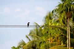 Kingfisher, Kaippattoor, Kerala, India (Fabionik) Tags: india kerala animaux 2012 kaippattoor