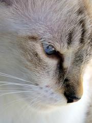 Anabel Leocádia Moreira Pinheiro (Márcio Vinícius Pinheiro) Tags: cat feline kitty olhos domestic gato catus felino olho pussycat focinho fucinho olhodegato gatodoméstico catwhite gatobranco vibrissas cateyeeyesmuzzlevibrissadomésticodomesticcats eyefurrypeludowhitebrancofelis