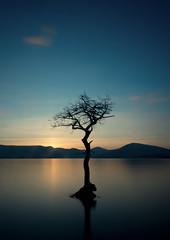 That tree (t_m_focus) Tags: tree water bay scotland lone loch submerged lomond balmaha millarochy
