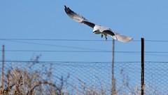 A few minutes in a kite's life /2 (Geoff Main) Tags: kite bird australia act birdofprey birdinflight blackshoulderedkite jerrabomberrawetlands canonef100400f4556lisusm canon7dmarkii