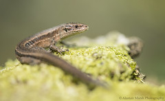 Common Lizard (Alastair Marsh Photography) Tags: portrait scale animal animals reptile wildlife lizard scales britishwildlife reptiles smallanimal smallanimals commonlizard specanimal britishreptile britishreptiles britishanimals britishanimal