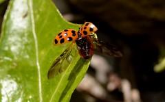 coccinella pronta al decollo (kyry2010) Tags: ladybug insetto coccinelle mariquita coccinella
