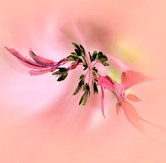 Inverted blossom (Mazzlo) Tags: flowers art nikon blossom pastel inverted springtime swirled d5500