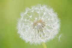 Pusteblume (florianheinrich) Tags: white flower macro green nature germany photography natur pflanze dandelion environment grn blume makro umwelt pusteblume weis flowpix