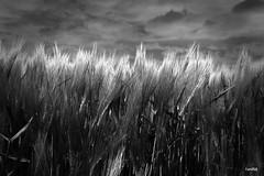 Grain under dark Clouds (arTARO) Tags: blackandwhite bw clouds canon dark eos grain wolken sw schwarzweiss taro dunkle niederrhein getreide lowerrhine 550d