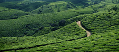 Landscape painted with tea (Rick Elkins) Tags: road india green tea kerala hills teagarden munnar teaplanatation