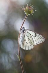 Da Aporia (too15) Tags: macro contraluz spring spain nikon bokeh butterflies blanca galicia tamron mariposas ambiente ourense aporia valdeorras