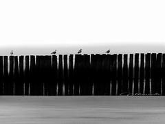 Baywatch (broombesoom) Tags: bw white black holland fence coast noir seagull zeeland bn northsea netherland zaun mwe blanc schwarz hff weis