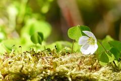 (evisdotter) Tags: light flower macro nature insect moss bokeh blomma mossa oxalisacetosella harsyra sooc mygga surklver harvppling gkmat
