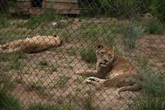 IMG_8285 (whereisjulie?) Tags: cougar ocelot serval caracal kinkajou
