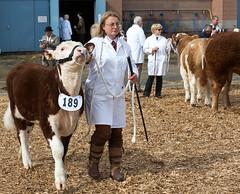 Cattle (Thursday) - Devon County Show 2016 (dorsetbays) Tags: show county cow cattle farm farming bull devon exeter judge farmer judging agriculture westpoint agricultural 2016 devoncountyshow devonshow agriculuturalshow devonshow2016 devoncountyshow2016