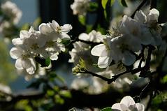 Spring (Elliott Bignell) Tags: flowers flower tree fruit schweiz switzerland suisse ostschweiz blumen pear svizzera blume blte baum birne blten obst flums blhen walenstadt berschis blht
