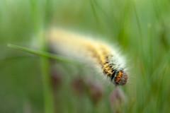 Gusarapo (DRGfoto) Tags: macro gusano oruga