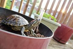 Every gardener needs a little help (City Turtles) Tags: pet sunlight cute green love nature animal canon turtle pots lensflare redearedslider animalphotography aquaticturtle canont5