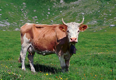 Alpen-Kuh (welenna) Tags: alpen alps animals tiere cow kuh horns horn