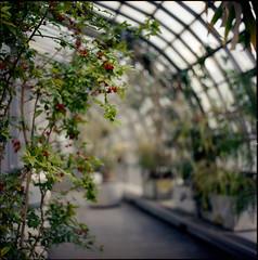 glass house (tommy1905195) Tags: plants flower 6x6 glass zeiss kodak frankfurt hasselblad medium format pane palmengarten 80mm 500cm ektar c41